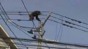 El chimpancé que se balancea agarrado a cables de alta tensión