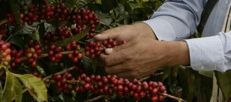Primer plan de exportación de educación de café en COLOMBIA