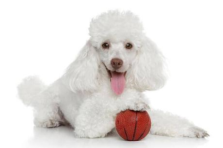 raza-de-perros-poodle_opt-compressor (1)