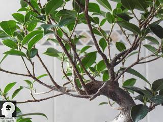 Modelando mi Ficus Microcarpa Tiger Bark #3: empezando de cero con el ápice