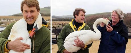 abrazo de un cisne herido a un hombre