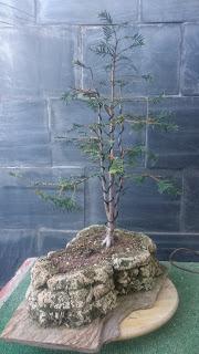 Taxus Baccata : primavera 2016