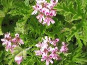 Geranio Olor (Pelargonium Graveolens) Propiedades.
