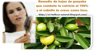 Hoja de guayaba para evitar la caída y  crecimiento rápido del cabello