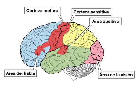 La comprensión del lenguaje no se limita a un área concreta