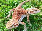dragón barbudo cabezas China