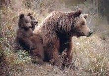 El Castillo de las Guardas acoge el nacimiento de dos crías de oso pardo