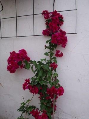 Arbustos con flores en maceta paperblog - Hortensias cuidados maceta ...