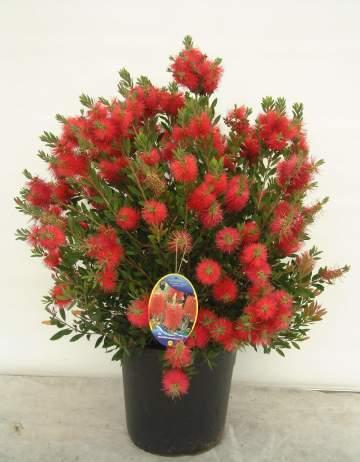 Arbustos con flores en maceta paperblog - Plantas exteriores todo el ano ...