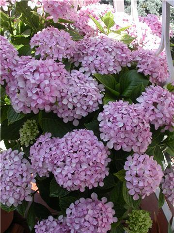 Arbustos con flores en maceta paperblog - Plantas de sol y sombra ...