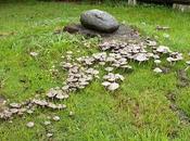 Sombrillitas grama
