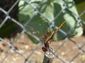 libélula patio