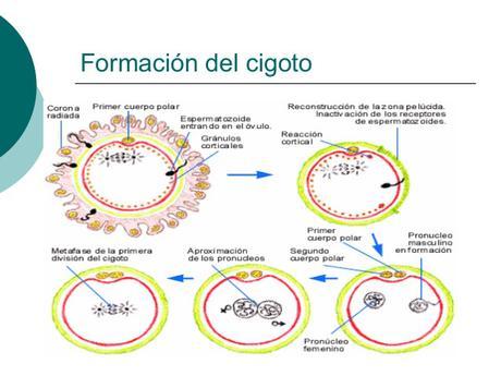 el-embarazo-5-638