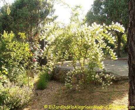 Philadelphus (Celindo) de arbusto abandonado a foco de interés en el jardín.
