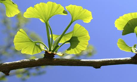 ginkgo biloba research papers Ginkgo biloba research papers - best hq academic writings provided by top professionals cooperate with our writers to receive the excellent essay meeting the.