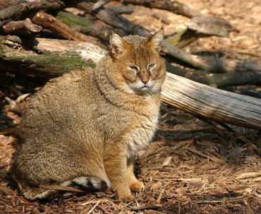 Jungle-Cat-Images