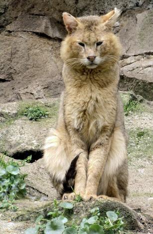 jungle-cat-05