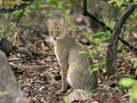Jungle cat - sitting01