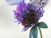 Pareja Polyommatus coridon (couple chalkhill blue)