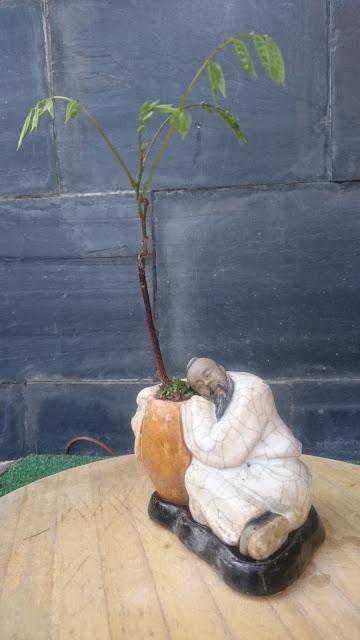Una Wisteria : entre planta de acento - bonsai mame