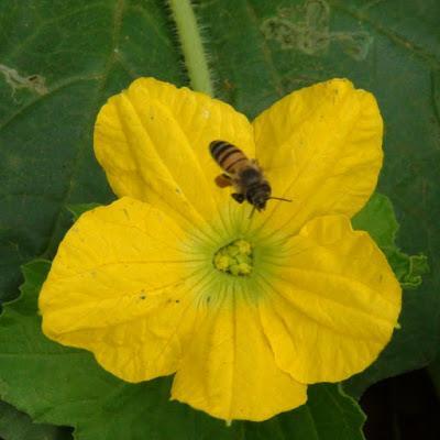 Si no hay abejas no hay melones