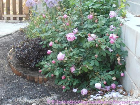 Rosa 'Alan Titchmarsh'. La importancia del tipo de suelo en su color