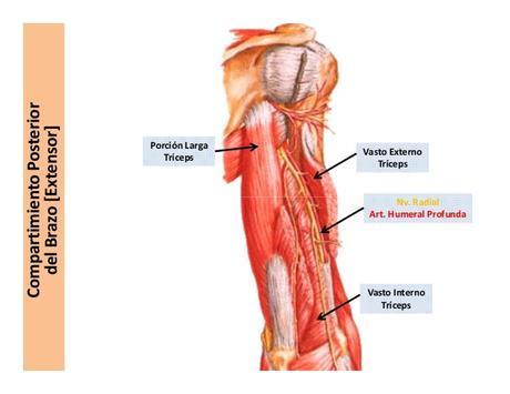 brazo-anatomia-17-638