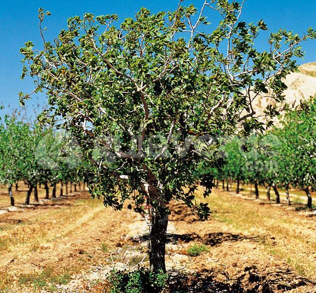http://www.guiaverde.com/files/plant/FRU_070.jpg