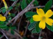 Damiana: planta medicinal para tratare infertilidad