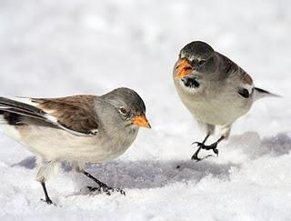 AVES DE LA NIEVE-BIRDS IN THE SNOW