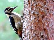 Pico picapinos-dendrocopos major-great spotted woodpecker