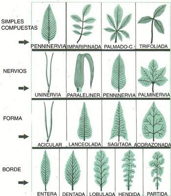 Las hojas y sus formas paperblog - Lista nombre arbustos ...