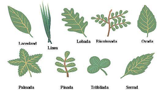 Las hojas y sus formas paperblog - Tipos de plantas y sus cuidados ...