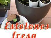 Reproducción fresas estolones