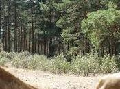 Muerte entre pinos
