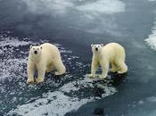 Meteorólogos rusos están atrapados osos polares 2.800 millas Moscú