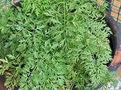 Zanahorias balcon