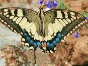 Mariposa macaón mariposa (Papilio machaon)