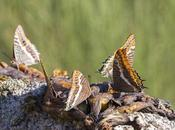 Charaxes jasius (Two-tailed Pasha Foxy Emperor)