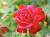 rosa roja castillo Sooneck