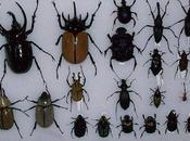 ¿cuántas variedades escarabajos existen? ¿cuáles comunes?