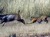 Fabula Tigre Venado