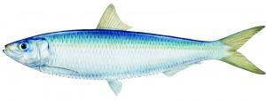 entierroSardina 300x114 ¿Pescado azul o blanco?