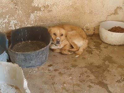 SOS, Rocco, ha dejado de comer en la perrera. Jaén.