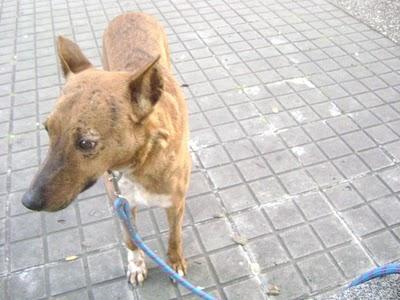 Michela, cruce de podenca y boxer con orejas cortadas está enferma!