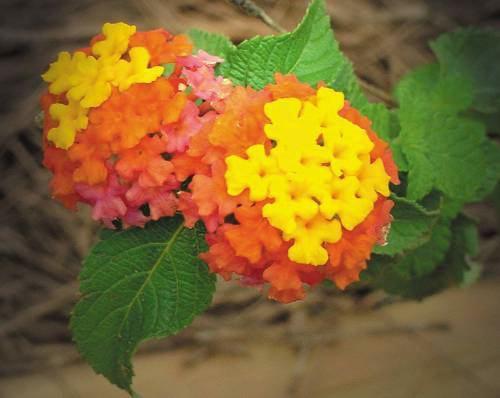 http://www.rubythroat.org/images/Lantana01.jpg