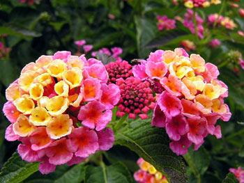 http://www.flowersgrowing.com/wp-content/uploads/2006/12/lantana.jpg