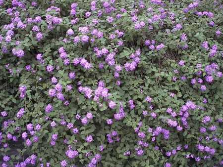 http://geraniums.momcom.net/geraniums/lantana63006.jpg