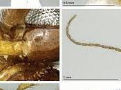 Nueva avispa encontrada cuevas Islas Canarias