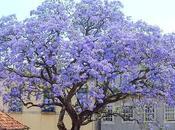 Kiri, árbol podría salvar mundo